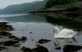Jura swan